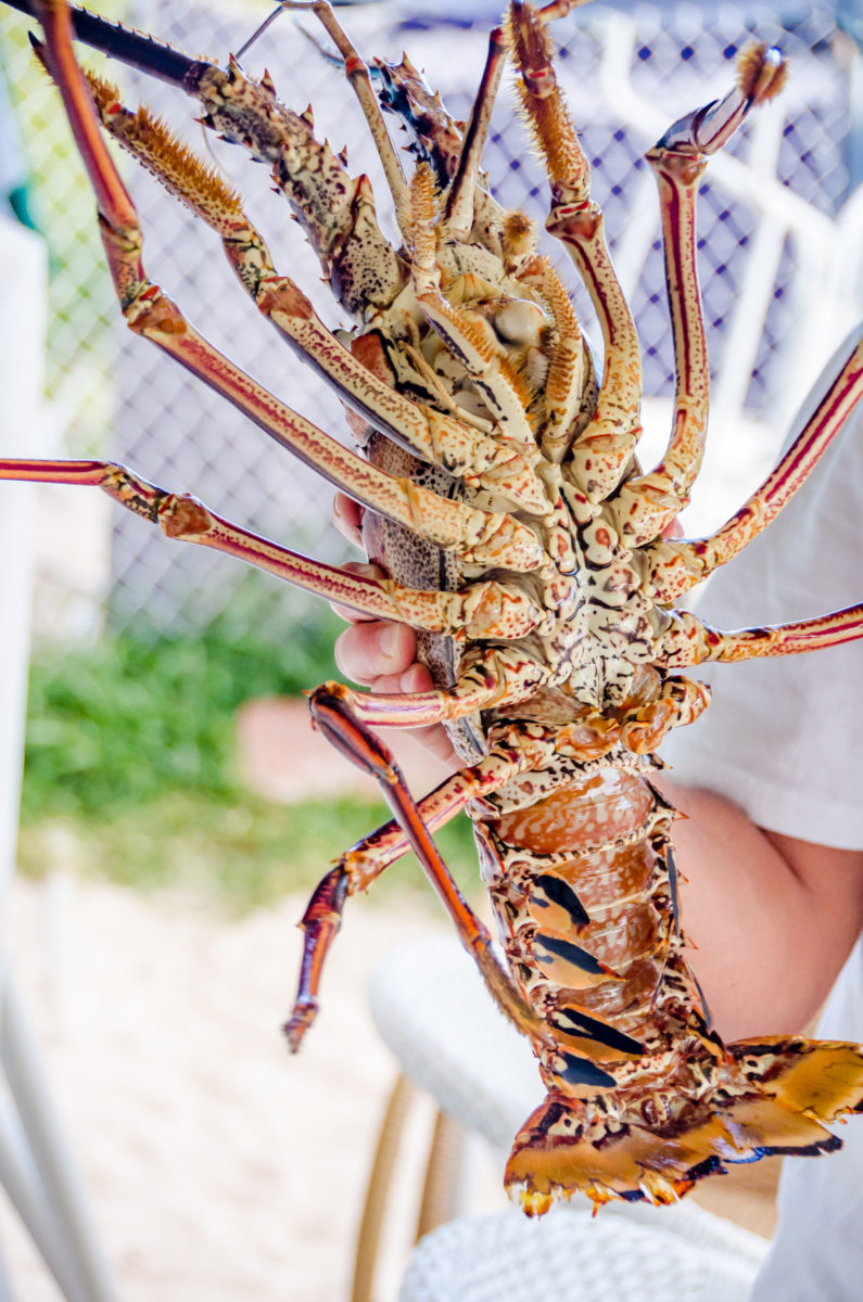 Spiny lobster: No Claws, No Problem!