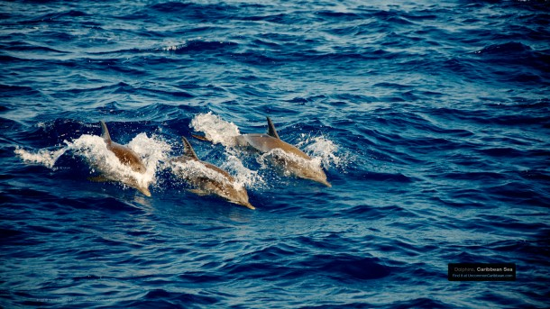 Swimming Dolphins, Caribbean Sea by Patrick Bennett