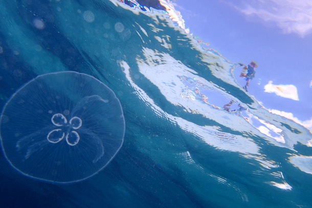 Moon Jelly just below the water's surface, Bimini, The Bahamas/SBPR