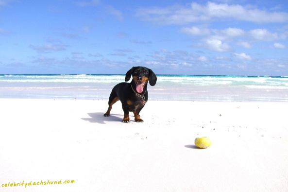 The Celebrity Dachshund in Eleuthera