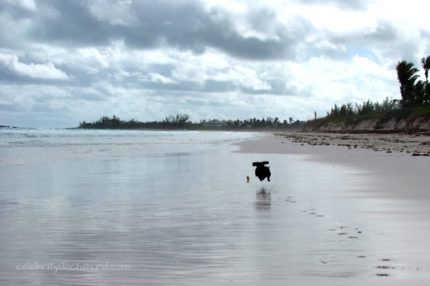 Crusoe playing fetch on French Leave, Eleuthera