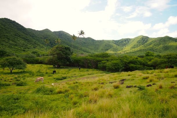 Cows and goats graze along the trail to Bolans, Antigua | SBPR