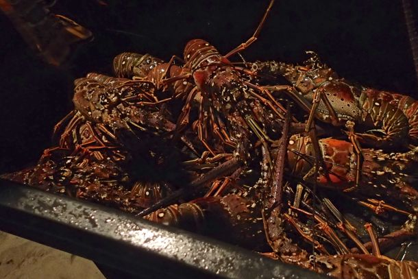 Petibonum lobsters waiting for your selection   SBPR