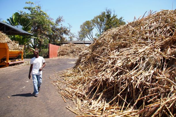 Fresh cut cane piled high at the Rhum Barbancourt Distillery in Haiti | SBPR