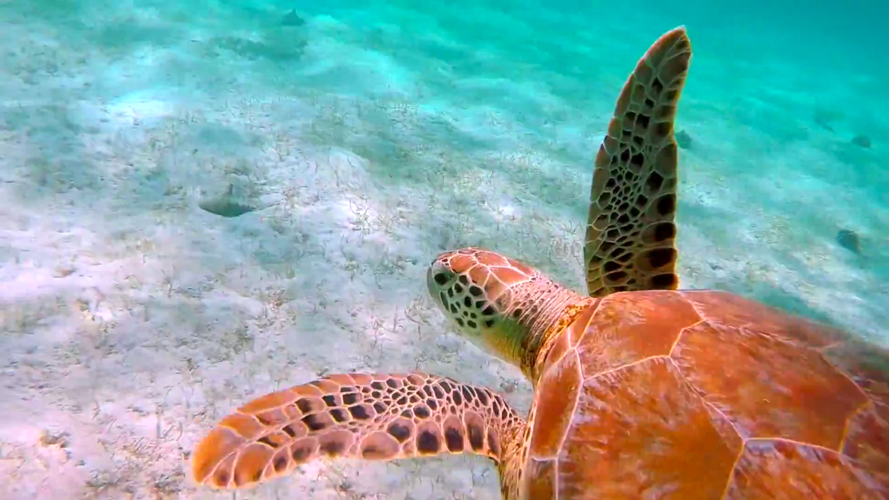 Snorkeling with Turtles Tobago Cays, Grenadines by Patrick Bennett