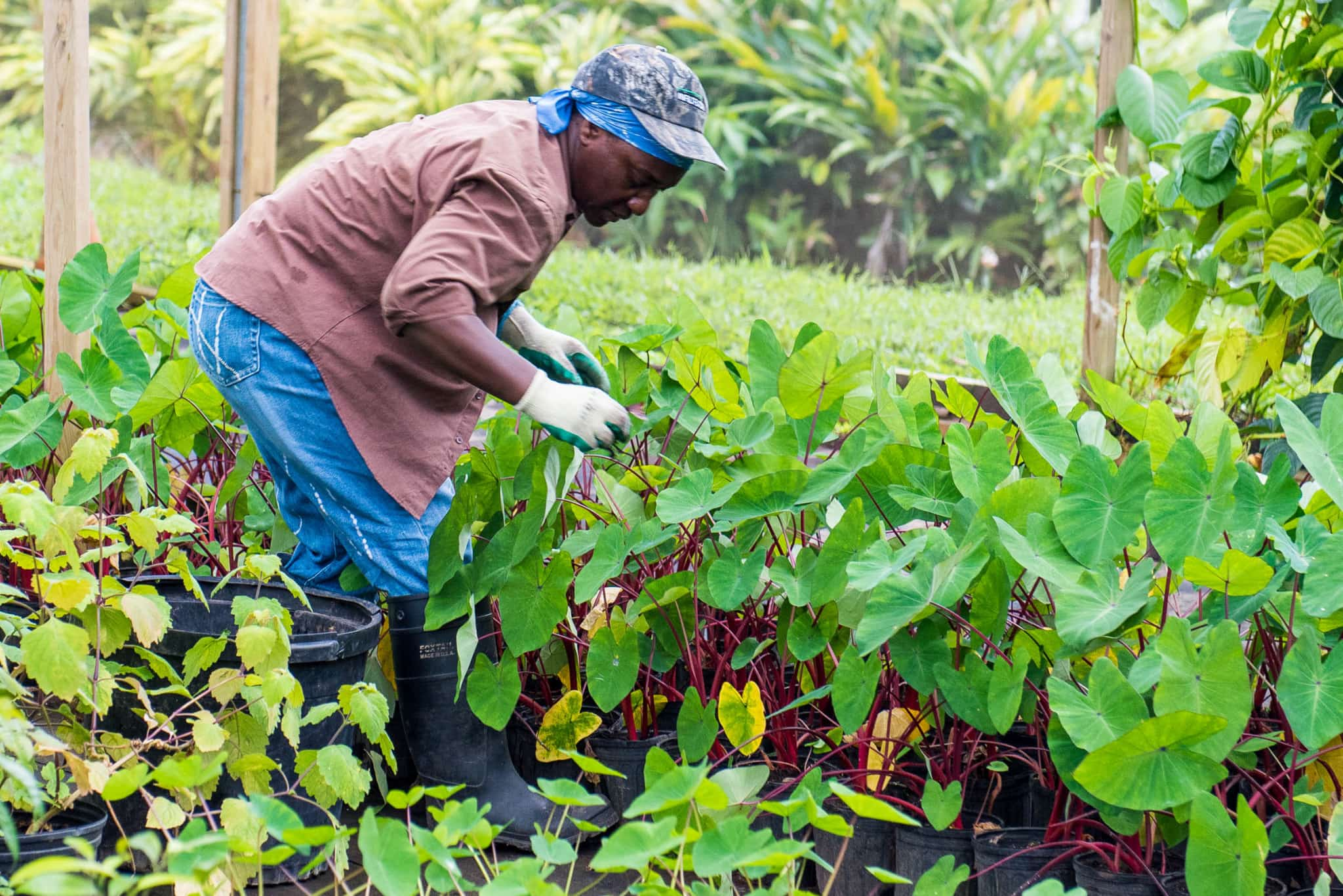 Farming at Belle Mont Farm on Kittitian Hill by Patrick Bennett
