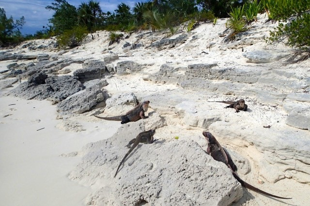 Rock Iguanas Everywhere | SBPR