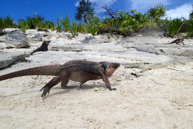Rock Iguanas in the Exumas | SBPR