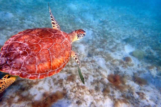 My latest chance meeting with a sea turtle, Magens Bay, St. Thomas | SBPR
