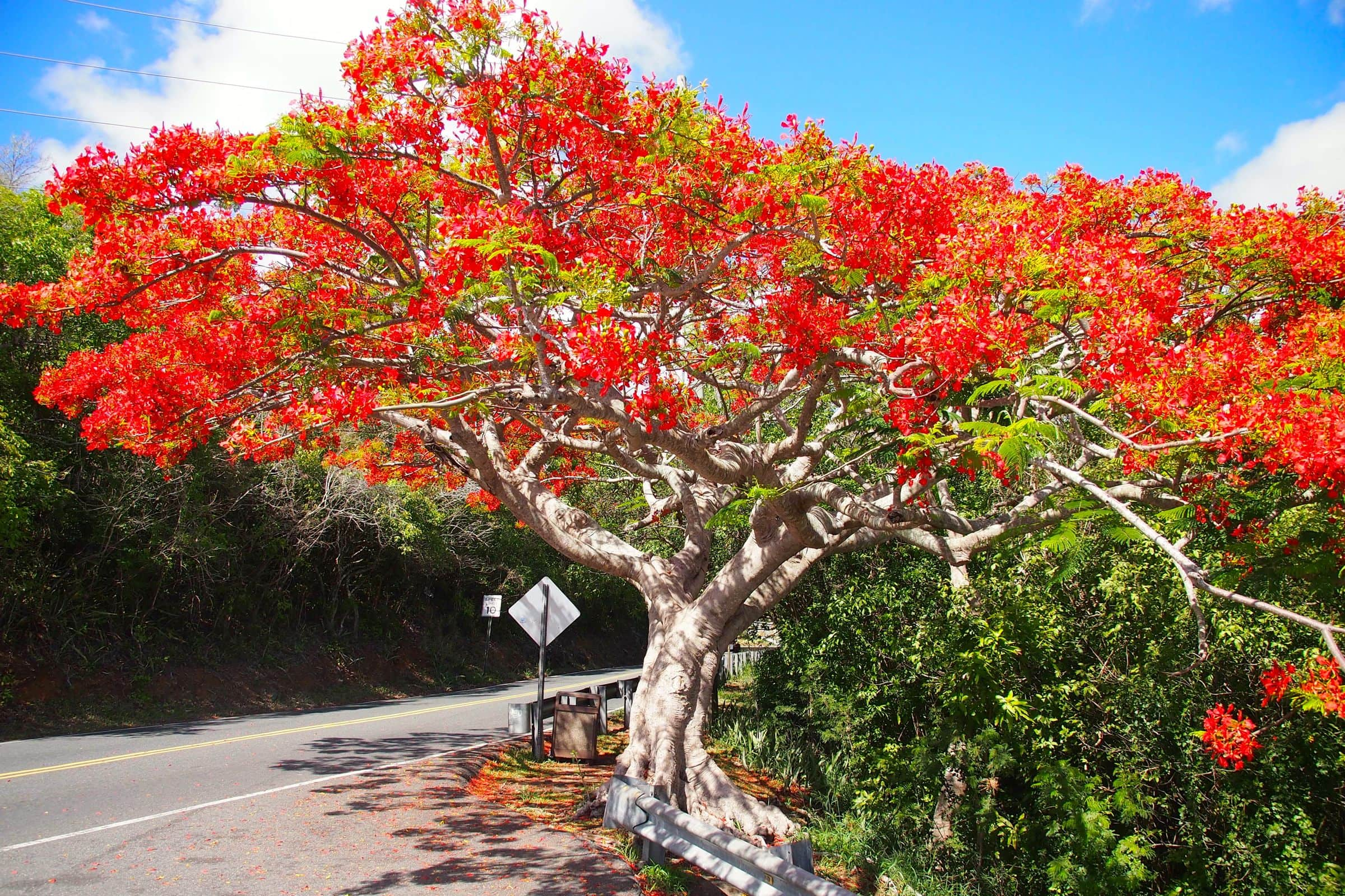 Flamboyant tree in full bloom