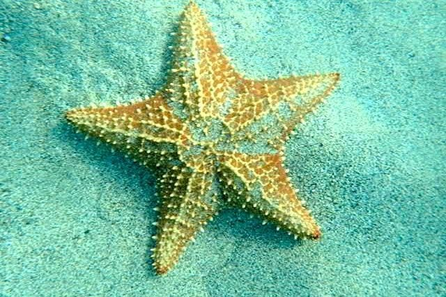 Starfish in the sand beneath the waves in Martinique | SBPR