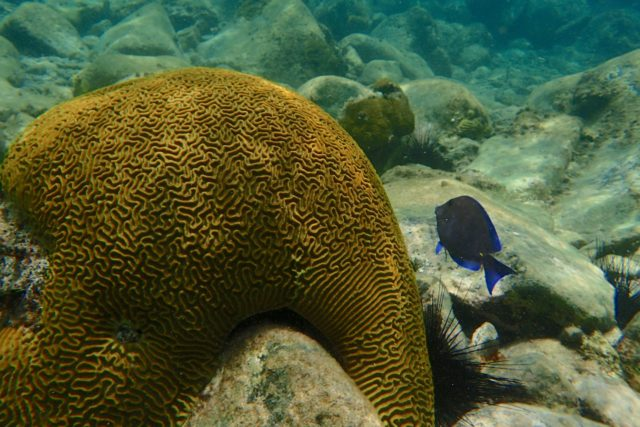 Brain coral at Creole Rock | SBPR