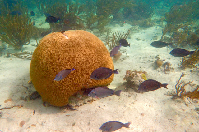 Blue Tang and Brain Coral in The Bahamas | SBPR