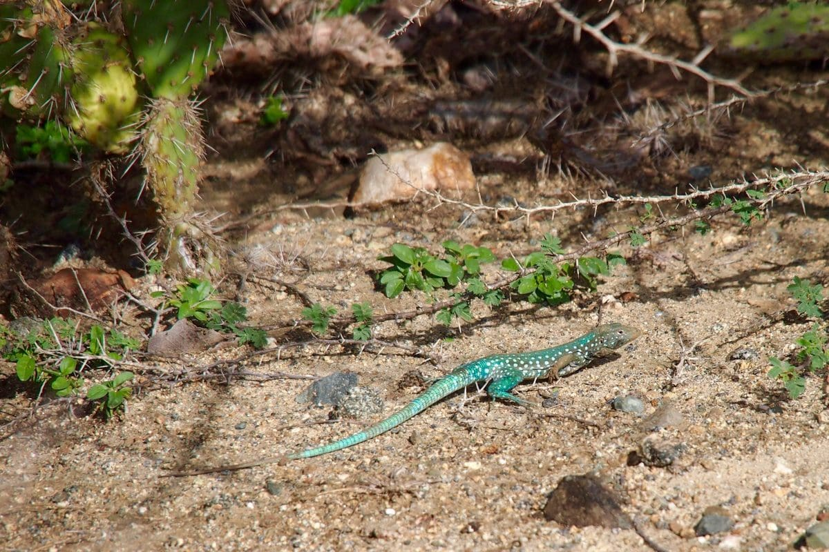 A lizard lines the way to Conchi