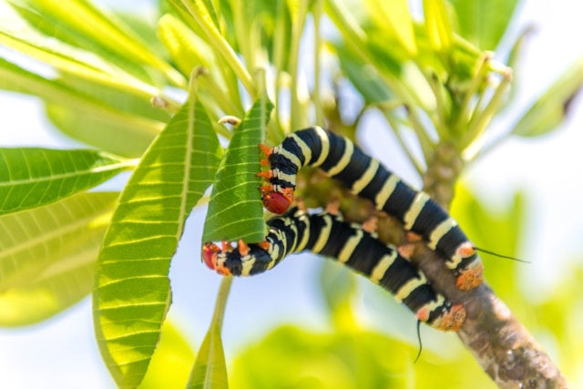 Frangipani worm friends