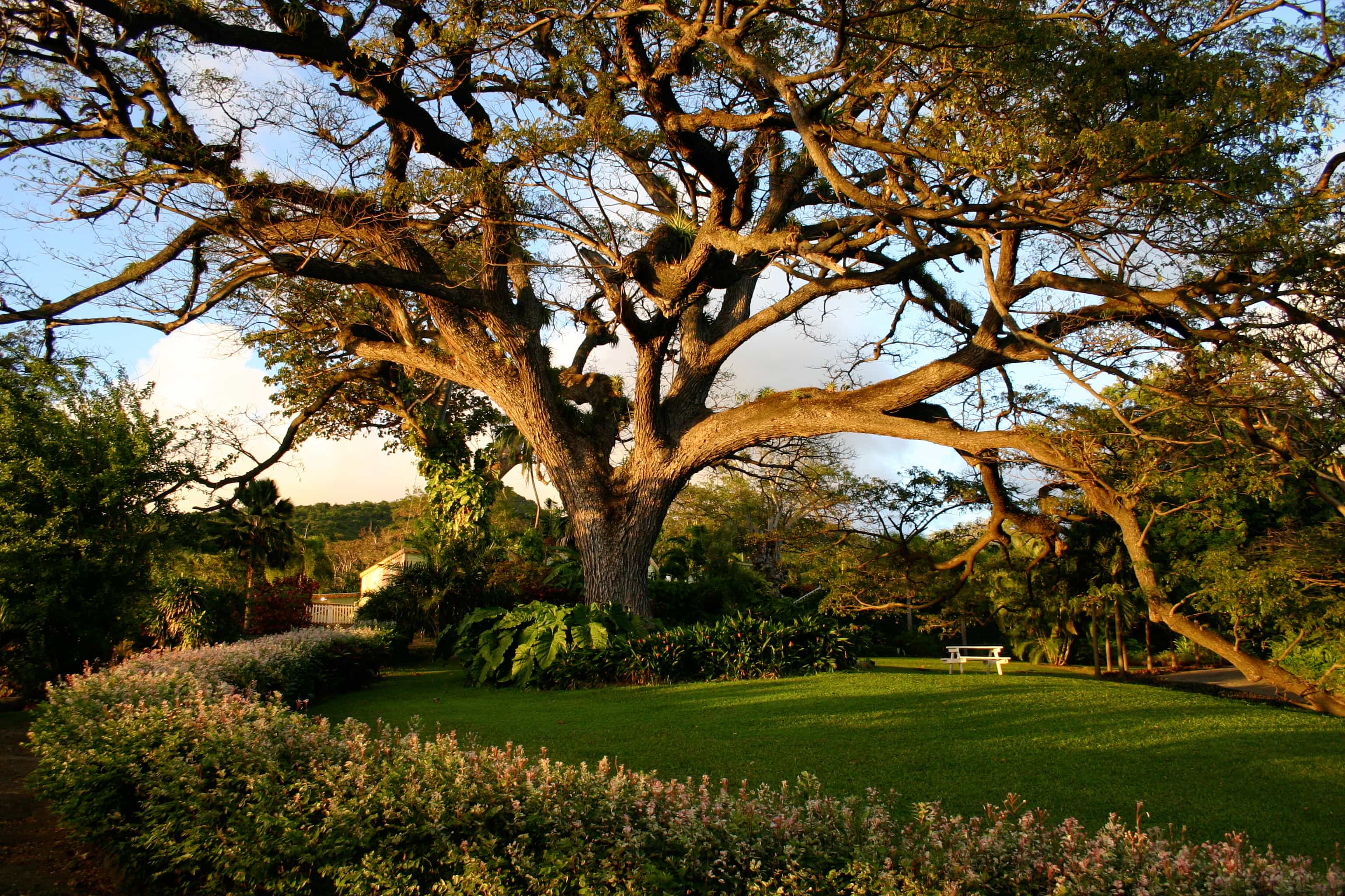 Saman Tree at Romney Manor, St. Kitts | Courtesy: St. Kitts Tourism Authority
