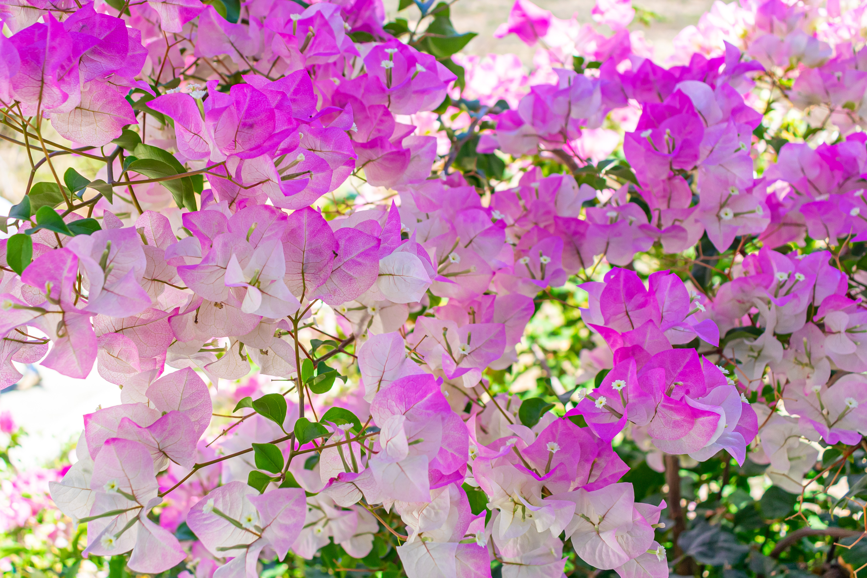 Bougainvillea Flowers Beautiful To Behold But Beware